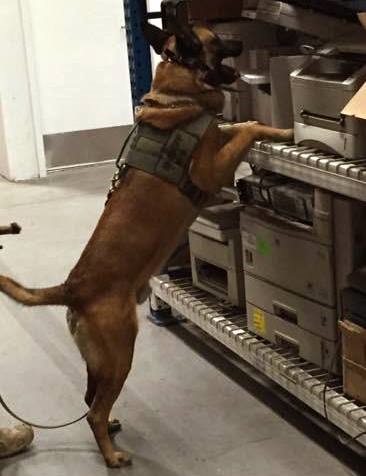 Rex, a 6-year-old Belgian Malinois with the Bernalillo County (NM) Sheriff's Office, was stabbed and beaten while apprehending a suspect. (Photo: Bernalillo County sheriff's Office)