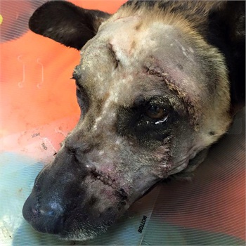 "Las Vegas Metro Police K-9 Nicky is recovering from being slashed in the face with a machete. (Photo"" Las Vegas Metro PD)"