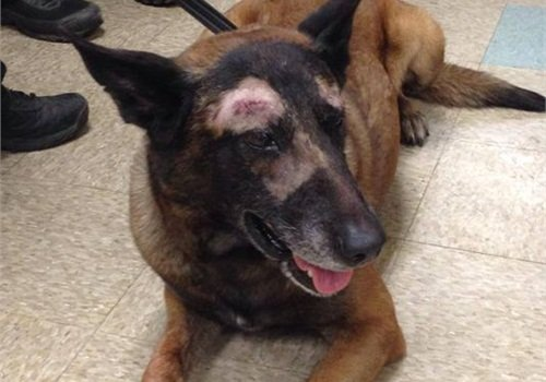 Mesa PD K-9 Jake is recovering from stab wounds. (Photo: Mesa PD)