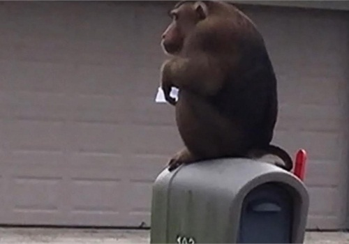 Pet monkey Zeek climbed up on a neighbor's mailbox and ate letters. (Photo: Sanford PD)