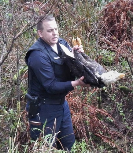 Oregon Trooper Paul Rushton picks up injured bald eagle earlier this month near Gold Beach. (Photo: Oregon State Police/Facebook)