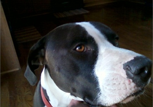 The shooting of Chloe, a mixed breed dog, by a Commerce City, CO, police officer has led to a $262,500 settlement.