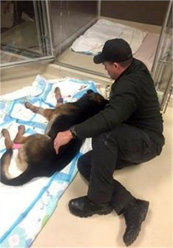 Canton Officer Ryan Davis comforts Jethro, his K9 partner who was shot several times early Saturday morning. The dog succumbed to his wounds on Sunday. (PhotoL Canton PD)