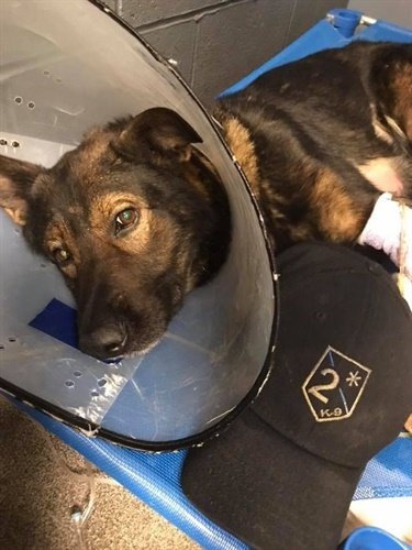 Normandy, MO, police K-9 Argo died Wednesday from injuries he suffered in a fall while on duty. (Photo: Normandy