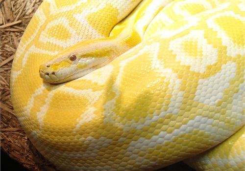 File photo of Burmese python. This is not the snake that was reportedly involved in the incident.
