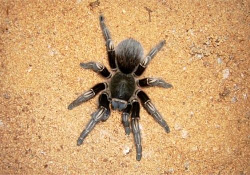 Tarantula photo via Wikimedia.