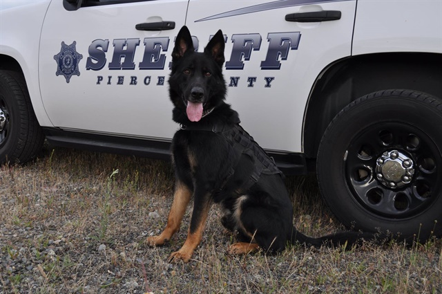 Pierce County (WA) Sheriff's Department K-9 Ammo, even a suspect he captured thinks he's a good dog. (Photo: Pierce County SD/Facebook)