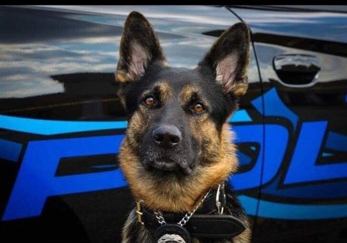 K-9 Axe had served with the St. Clair Shores Police Department for two years. Image courtesy of ODMP.