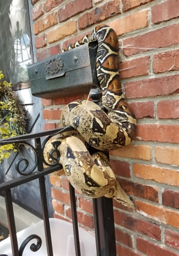 Overland Park (KS) Police posted images on Twitter of a massive Ball Python a postal worker discovered wrapped around a resident's mail box. Image courtesy of Overland Park PS / Twitter.