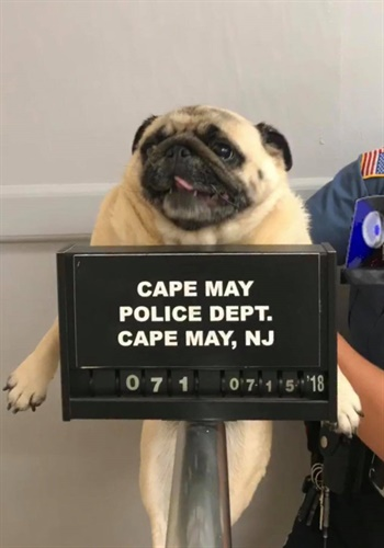 Cape May (NJ) police decided to use social media to find the owner of a lost dog they discovered on Sunday. Image courtesy of Cape May Police / Facebook.