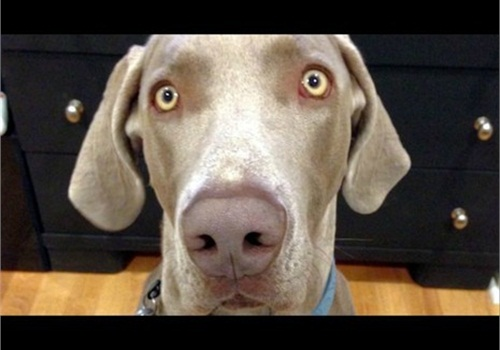 Salt Lake County Sheriff Jim Winder hopes training will prevent shootings of dogs in his jurisdiction. Pictured is Geist, 110-pound Weimaraner that was killed in June during the search for a missing child.
