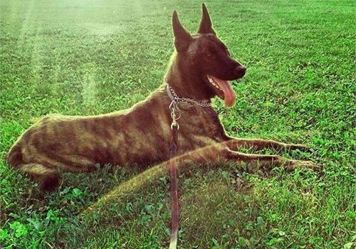 Wise County Sheriff's Office K-9 Pepper was killed flushing out a suspect Wednesday afternoon. (Photo:Wise County Sheriff's Office)
