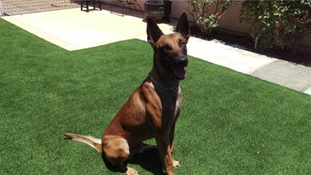 Dexter, a 3-year-old Belgian Malinois who has been with the San Diego Police Department for a year and a half, was stabbed Monday morning. Dexter underwent surgery and is expected to recover. (San Diego PD)