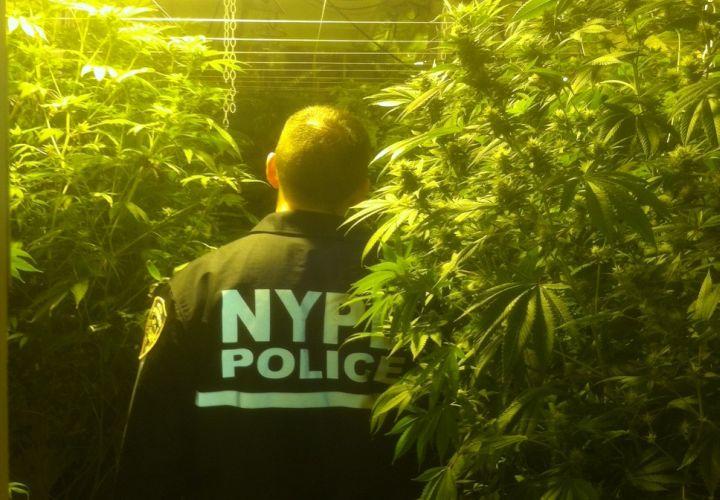 Bronx Marijuana Jungle Raided by NYPD