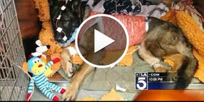 Video: Critically Wounded Calif. K-9 Expected to Survive