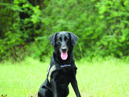Labrador retrievers are excellent for bomb detection because they have a strong prey drive and...