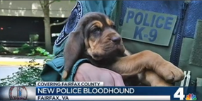 Bloodhound Puppy Joins Virginia Police Department