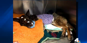 Calif. K-9 Recovering from Head Shot