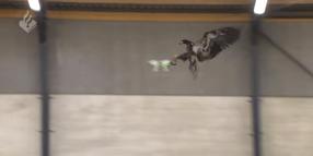 Dutch Police Train Eagles to Take Down Drones